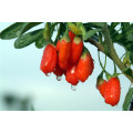 Medlar Health Care Fruit Goji Berry