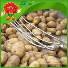 Keine faule billige frische gelbe Kartoffeln Bauernhof verkaufen Kartoffeln