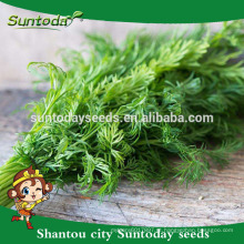 Suntoday vegetal F1 jardim Orgânico compra on-line Inglês funcho cominho sementes de água em massa plantio tamil rajastant fornecedor (81003)