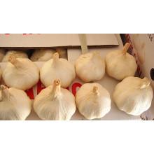 Китай Шаньдун свежий нормальный белый чеснок