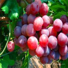 экстракт семян винограда 7кг 8кг упаковка красный глобус виноград