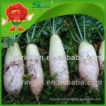 Market price for Chinese fresh radish