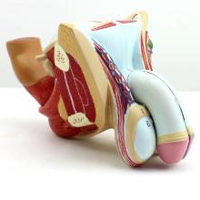 ANATOMY09 (12447) мужчина Вставьте две мужские гениталии & Urnary мочевого пузыря и простаты, 4part, Анатомия модели > Мужской/Женский модели
