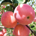 Fuji Apple to Europe/South Asia/Middle East