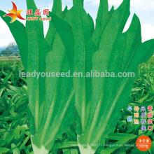 IL01 Wuban no.001 graines Indianlettuce résistantes à la chaleur