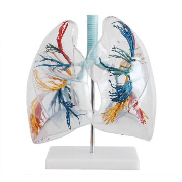 Lung02 (12499) Arbre bronchique avec larynx et poumons transparents, 2 fois la taille de la vie pleine, modèles d'anatomie> Modèles pulmonaires