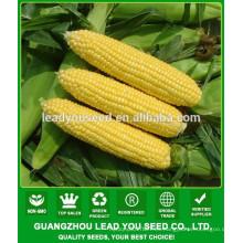 CO06 Taiwán No.28 ventas de semillas de maíz súper dulce amarillo