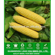 CO06 Taiwan No.28 yellow super sweet corn seeds sales