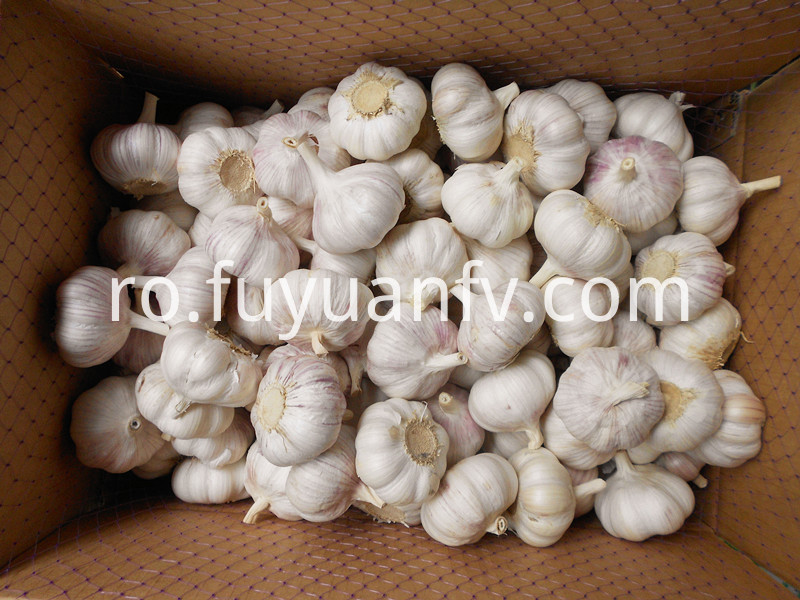 garlic in 10kg loose carton