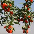 Acaid UE standard goji berry goji berry prix fruits secs