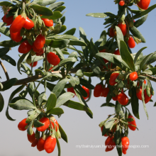 Acaid EU standard goji berry goji berry price dried fruit