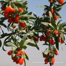 Acaid padrão da UE goji berry goji berry preço frutas secas