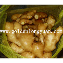 Fresh Ginger Good Quality in Mesh Bag