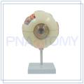 PNT-0660 6 times enlarged Human Eye model