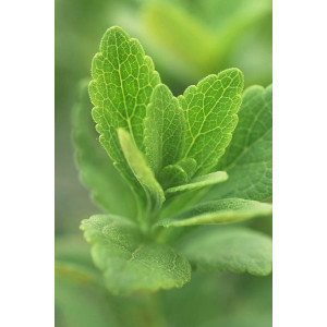 White powder Stevia extract Food additive