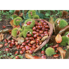 fresh chestnut 40-60pcs per kg