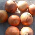 Best Selling Fresh Yellow Onion (4-6cm)