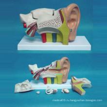 6-кратная увеличенная структура ушей человека Анатомическая медицинская модель (R070102)
