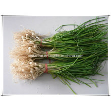 Factory Macrostem Onion/ Allium Macrostemon Bunge Extract Powder