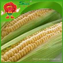 Süßer gelber Mais frischer Mais hochwertiger etablierter Mais