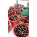 Taian chestnuts china fresh chestnuts for USA