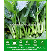NCS05 Bingban Quality choy sum seeds ,chinese broccoli seeds