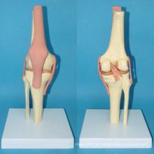 Modelo de osso de plástico de esqueleto de função articular de alta qualidade (R020907)