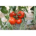 Suntoday determinó la plantación de nombres científicos de híbridos vegetales F1 semillas de tomate chino (22021)