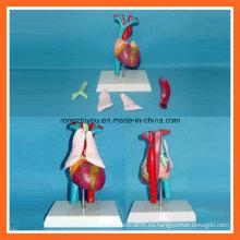 Modelo médico humano de la anatomía del corazón con el timo