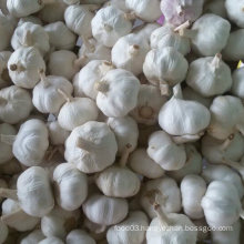 Exported Standard Quality of Fresh White Garlic
