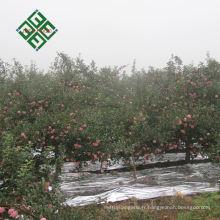Chinois granny smith pomme pomme fraîche pour en gros