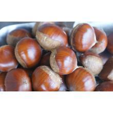 De Boa Qualidade Chinês Chestnut
