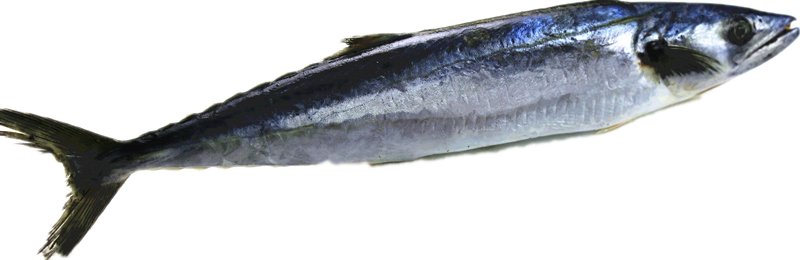 Whole Round Spanish Mackerel