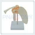 PNT-0201 life size human shoulder joint model