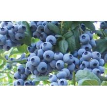 IQF Freezing Organic Blueberry Zl-160003