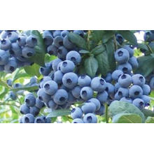 IQF Congelamento Orgânico Blueberry Zl-160003