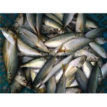 Bqf Gefrorene Meeresfrüchte Pferd Makrele Fisch