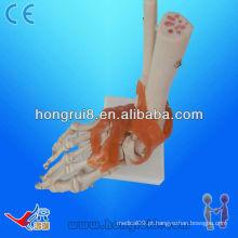 Modelo de esqueleto de articulação do pé de tamanho humano com ligamentos, junta de PVC