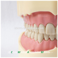 28 pcs Dentes Preto FDental Modelo Anatômico para o Ensino Da Escola 13006, Dentes de Substituição Siut para Frasaco Jaw