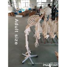 PNT-0101F Tipo de Modelo de Esqueleto de 180 cm com modelo de coluna flexível