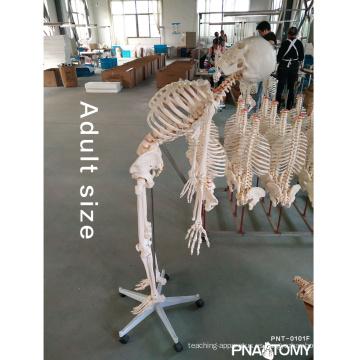 Modelo de esqueleto PNT-0101F 180cm con modelo de espina flexible