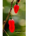 Culture commune goji berry vente chaude