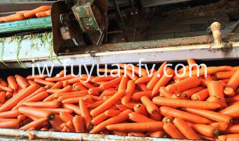 top quality fresh carrot