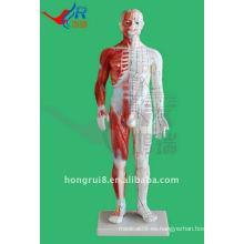 Modelo de acupuntura masculino 60CM, modelo de acupuntura humana con músculo