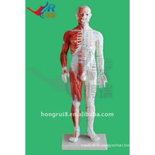 Male Acupuncture Model 60CM,human acupuncture model with muscle