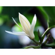 Pflanzen Sie ätherisches Öl aus Wunderblatt