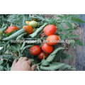 Suntoday gros rio roma grande plante plantée rouge processus indien sgyanta 1359 graines de tomates ouvertes (22015)
