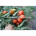 Оптовая Suntoday Рио Гранде, Рома детерминантный посадки красный индийский процесс sgyanta 1359 семена томатов открыть подал(22015)