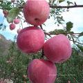 chinesischer frischer roter Fuji-Apfel frischer Apfel