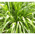 Ryegrass seeds forage seeds